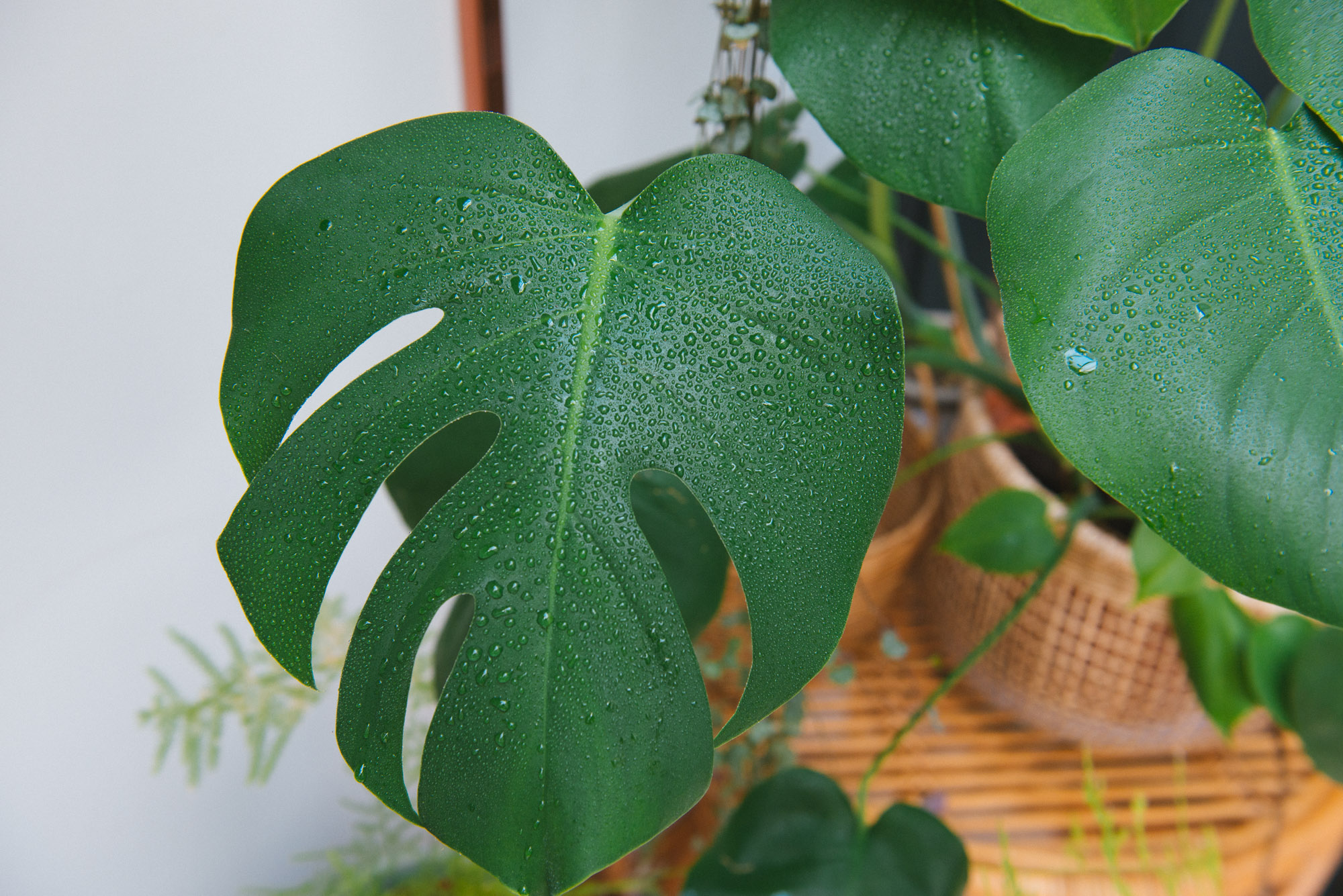 monstera deliciosa plante d'intérieur végétalisation décoration végétale