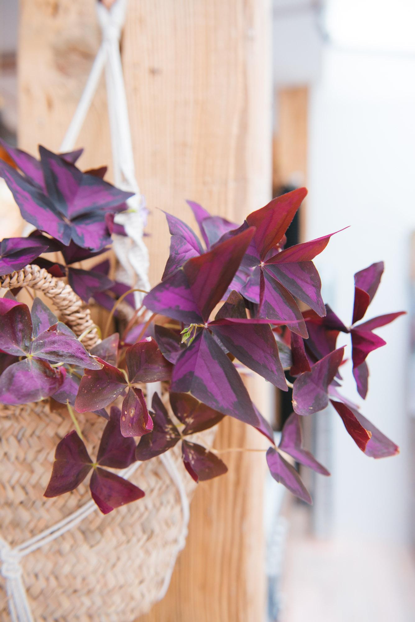 oxalys plante suspendue macramé décoration végétale