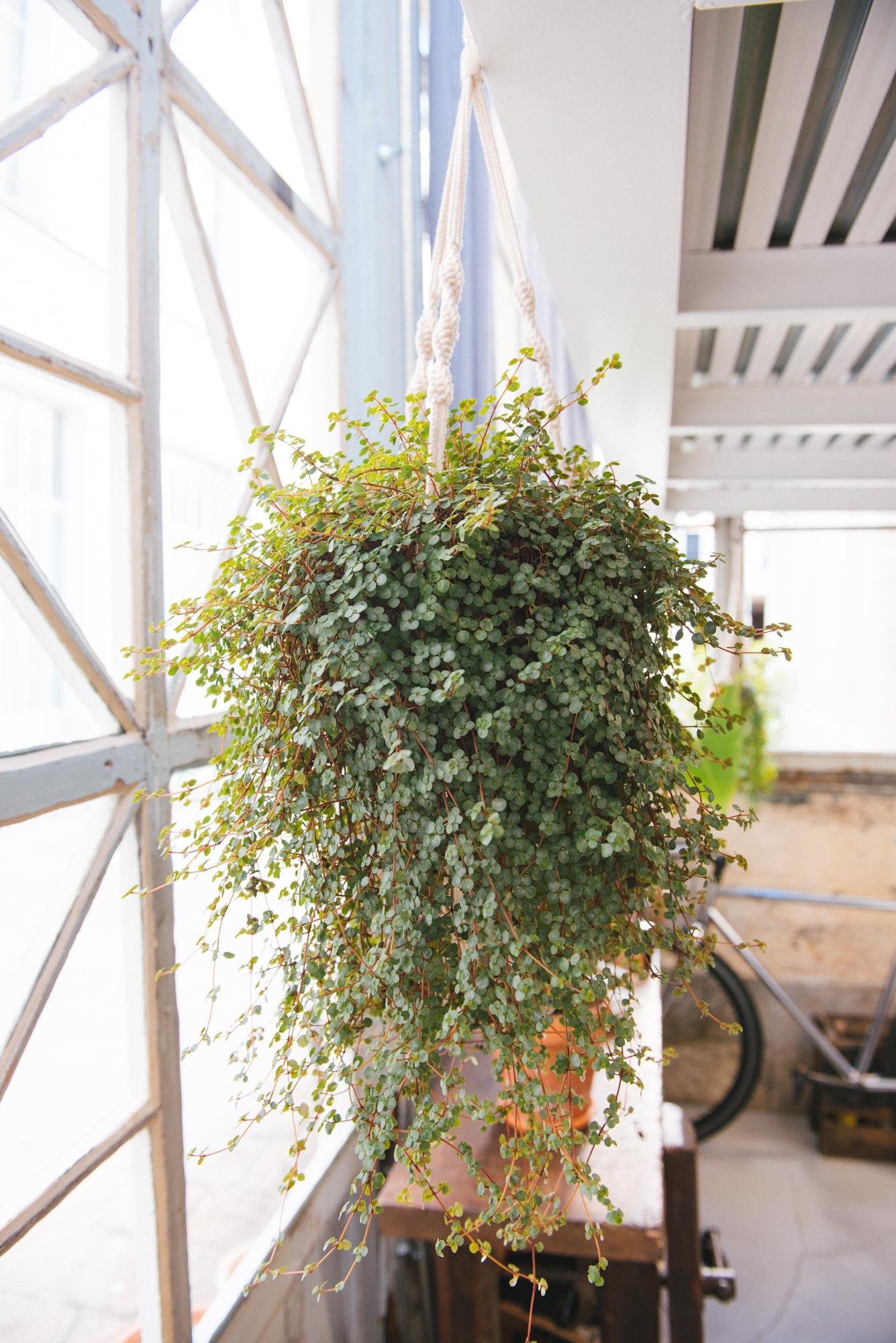 peperomia décoration végétale végétalisation bureau