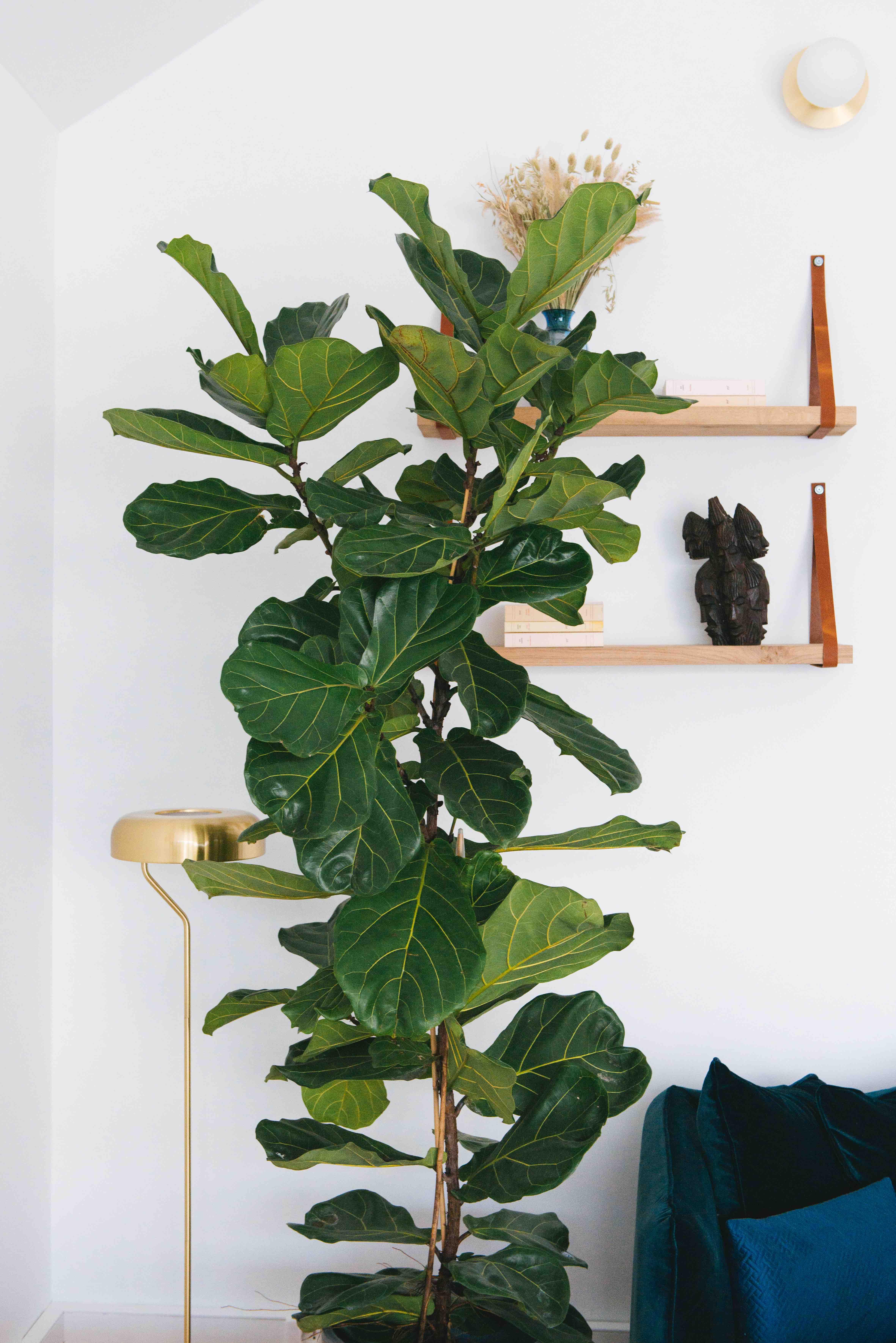 ficus lyrata grande plante bureau végétalisation paris