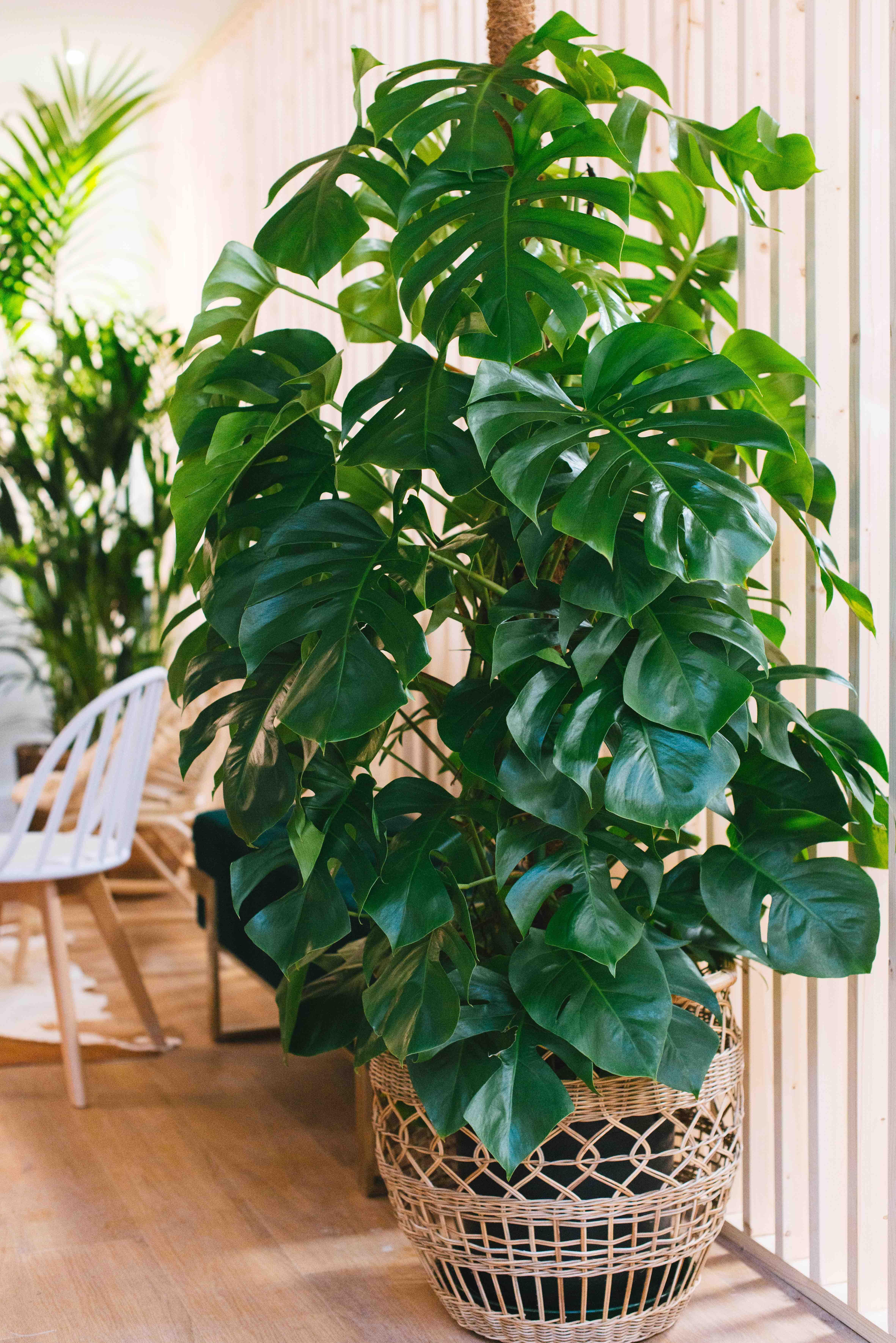 végétalisation bureau paris plantes monstera