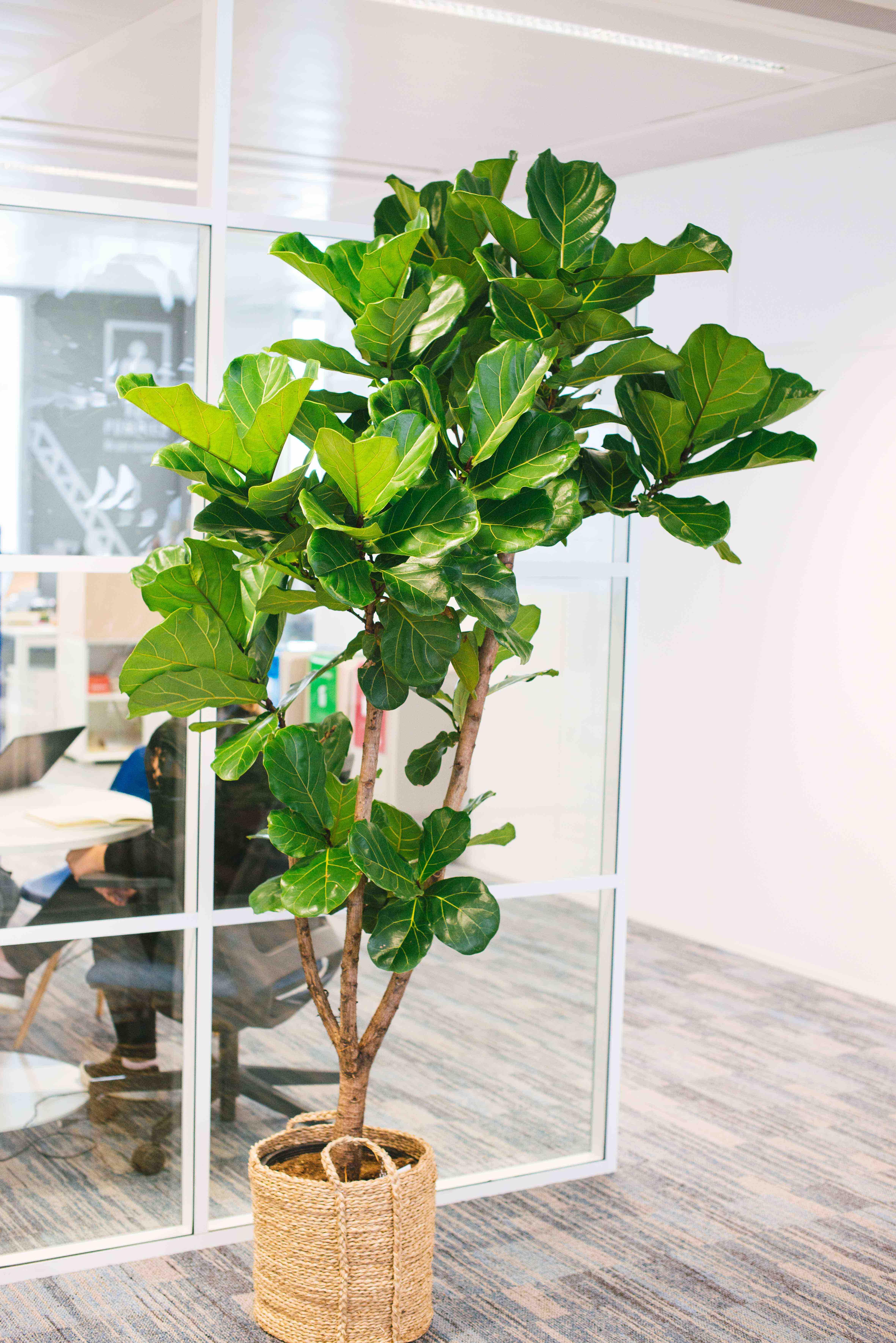 végétalisation bureau commerce paris sweet jungle ficus lyrata