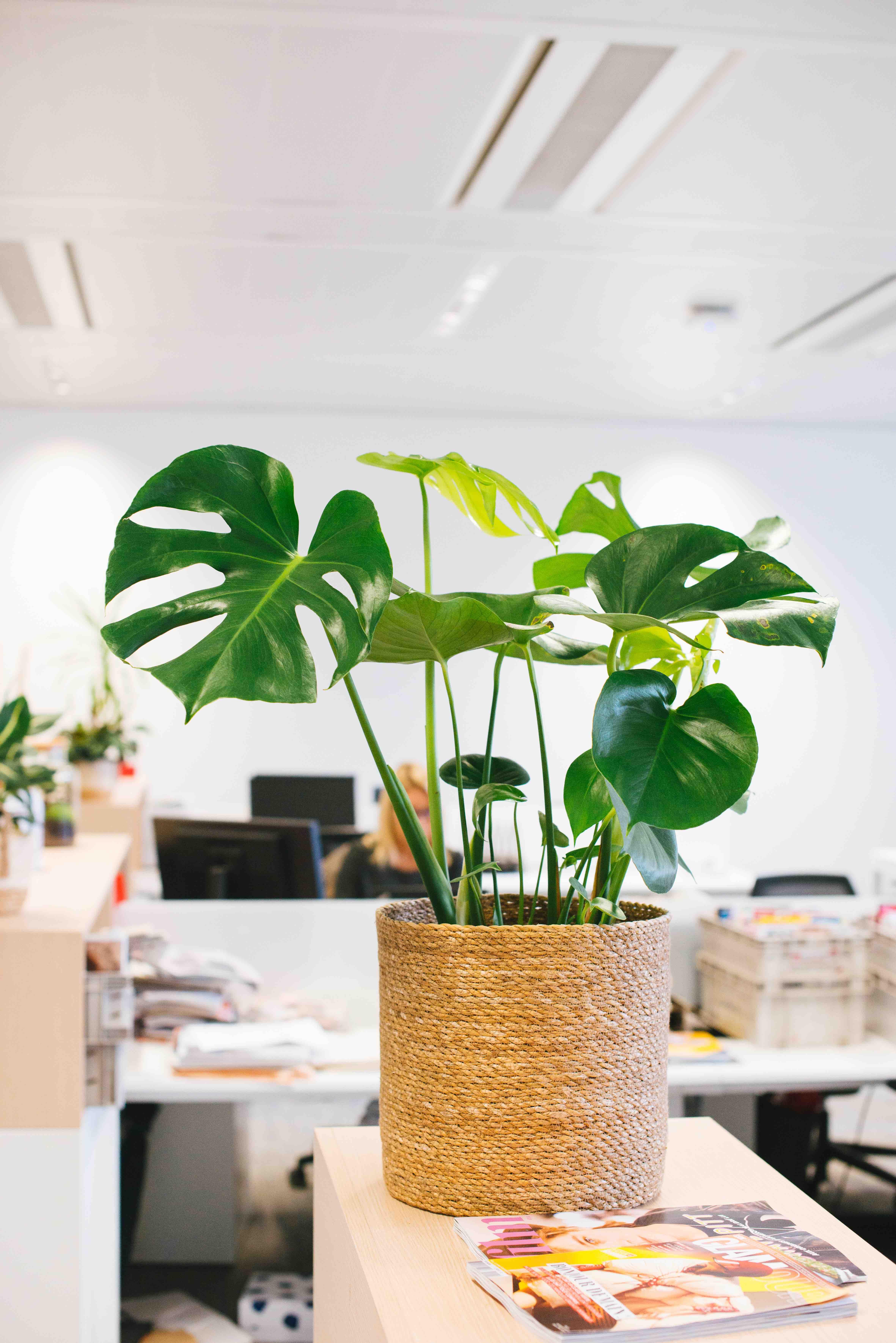 végétalisation bureau commerce paris sweet jungle monstera