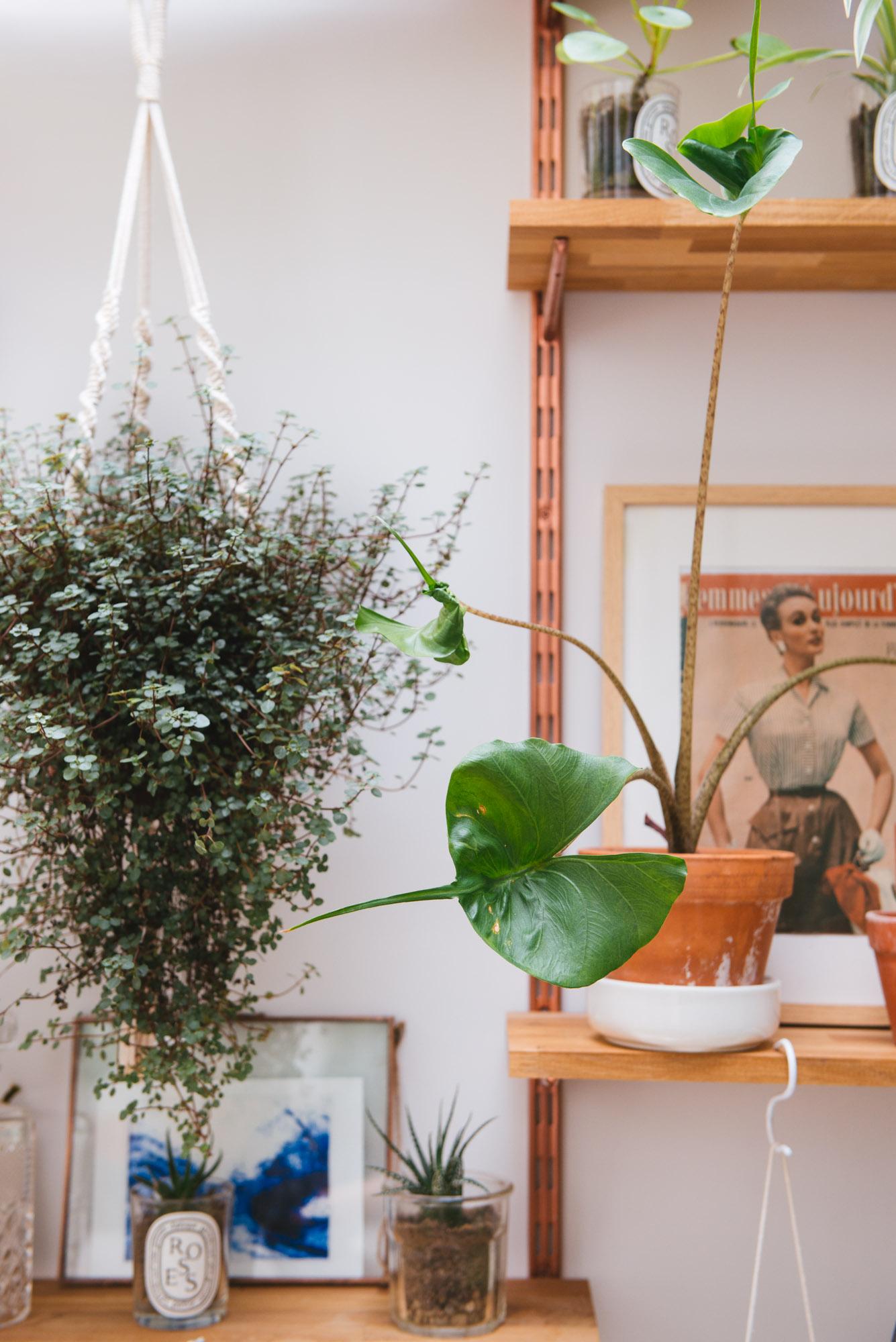 alocasia stingray plantes vertes macramé décoration végétale
