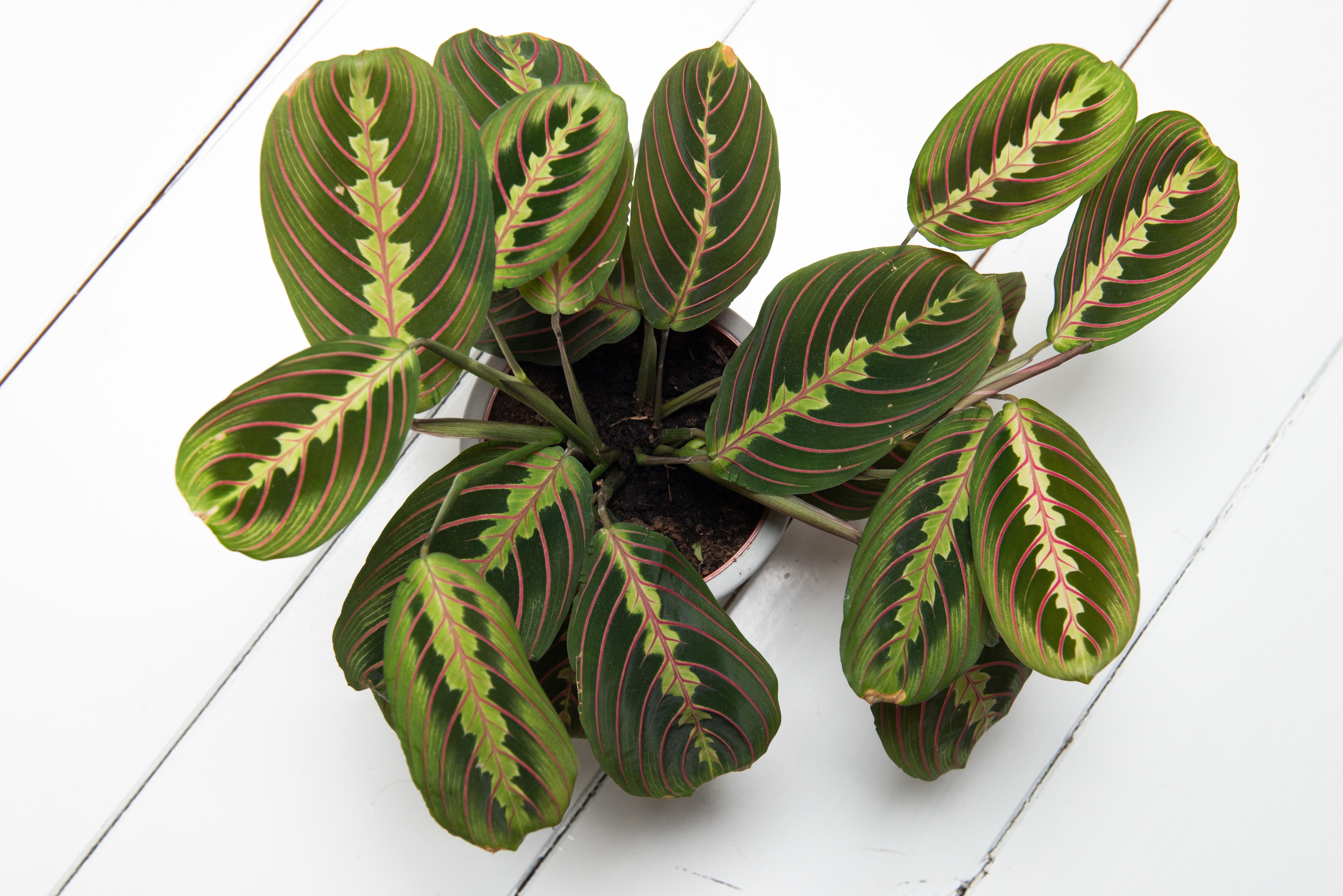 maranta leuconeura plante tropical végétalisation décoration végétale