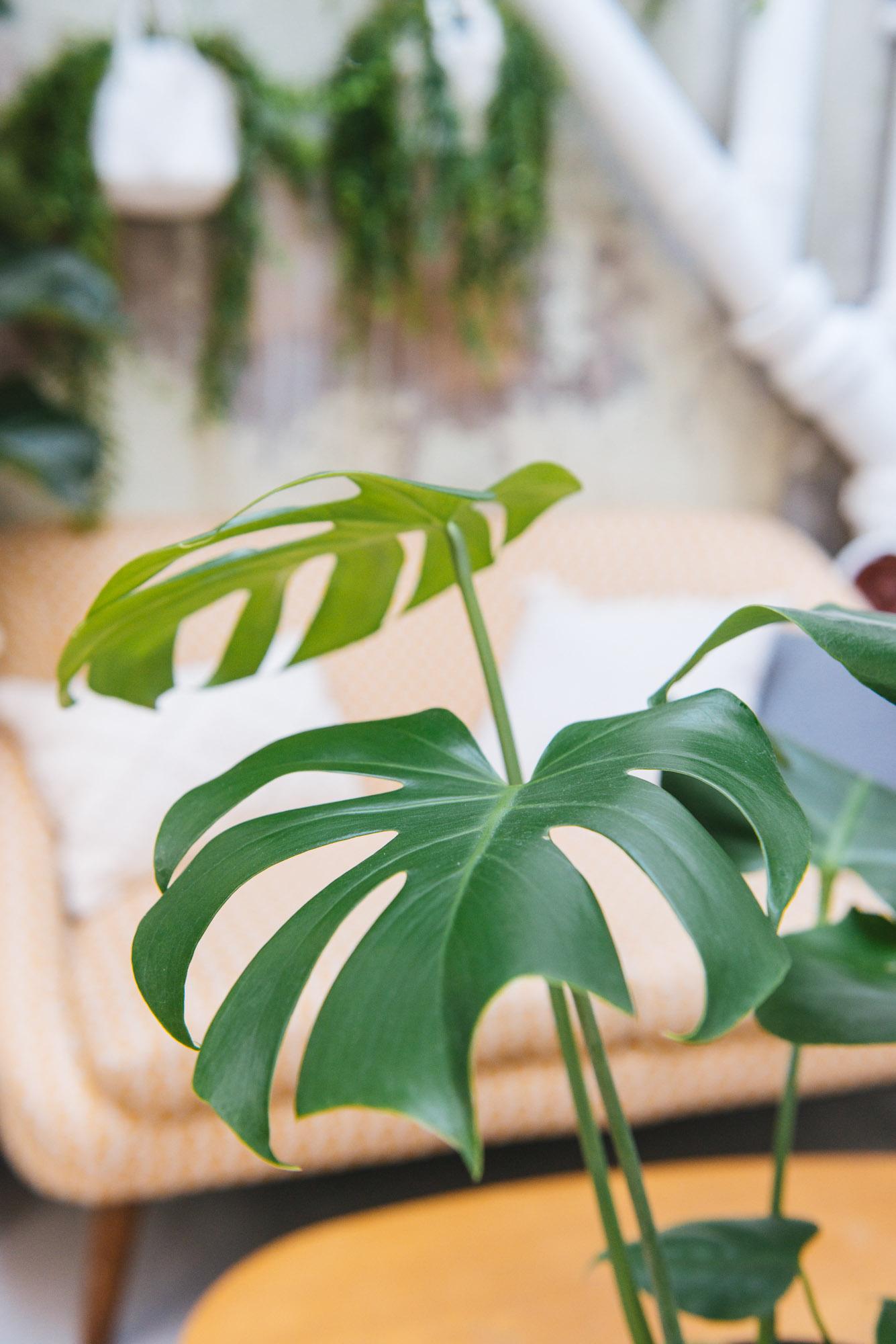 monstera deliciosa plante verte décoration végétale végétalisation