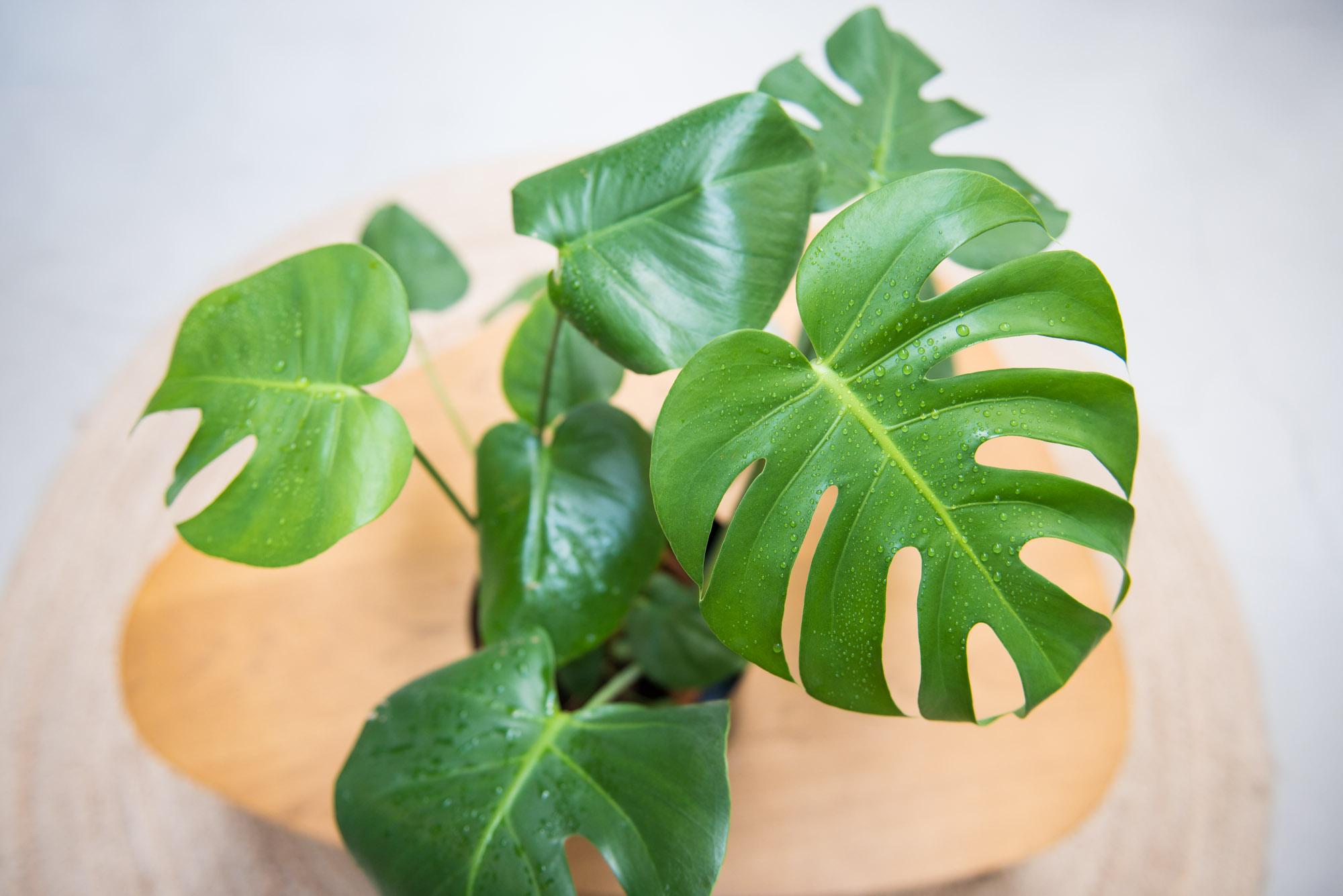 monstera deliciosa plante verte végétalisation bureaux décoration végétale d'intérieur