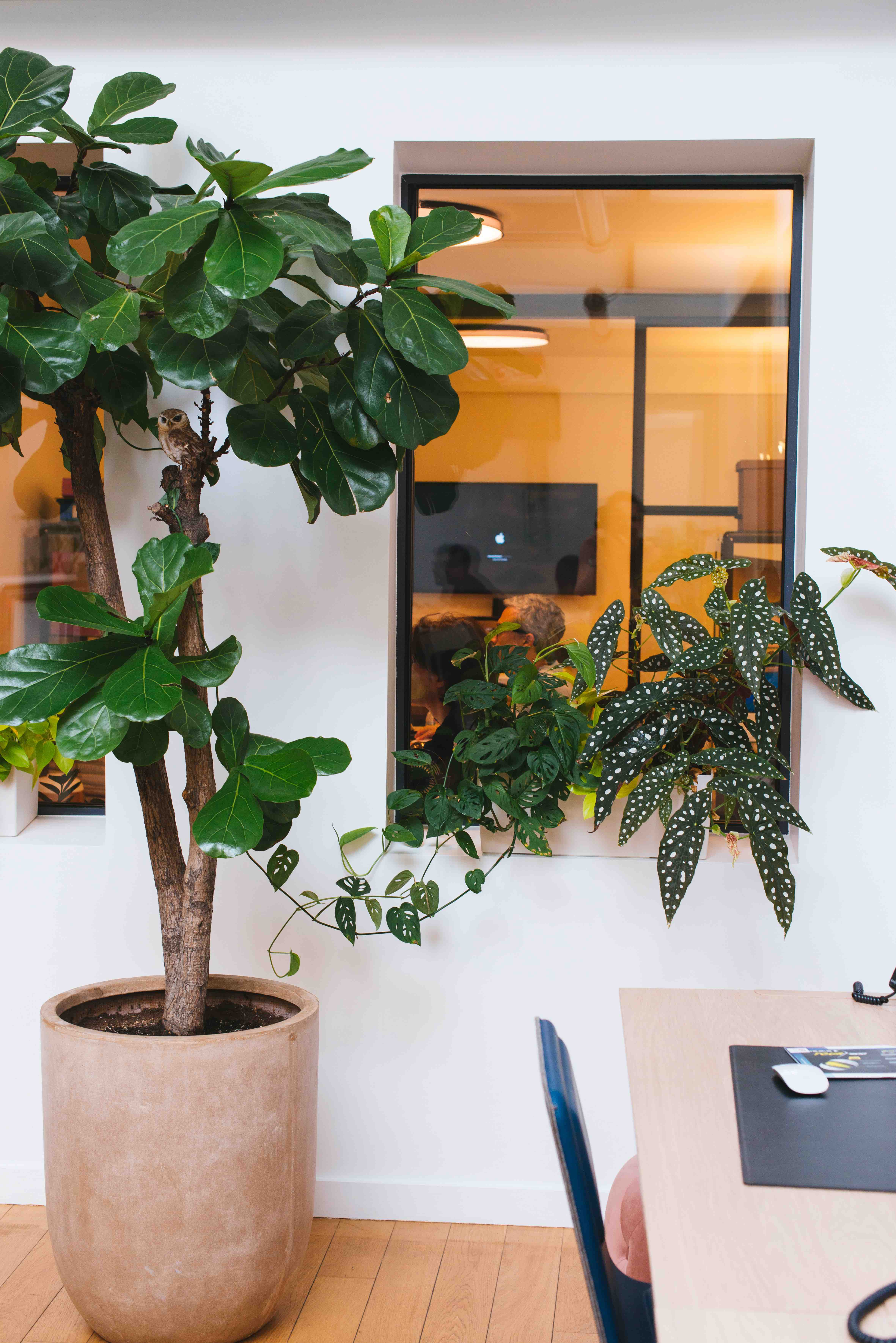 végétalisation bureaux ficus lyrata sweet jungle paris