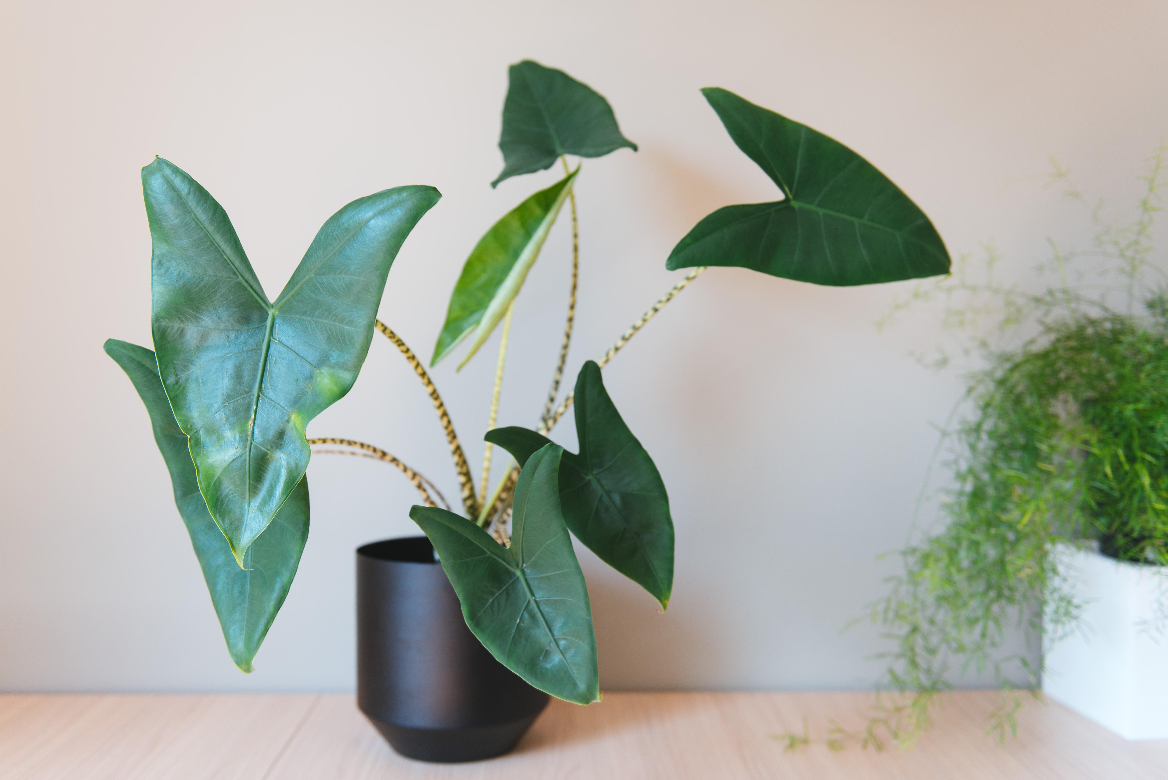 végétalisation bureaux sweet jungle paris plantes alocasia zebrina
