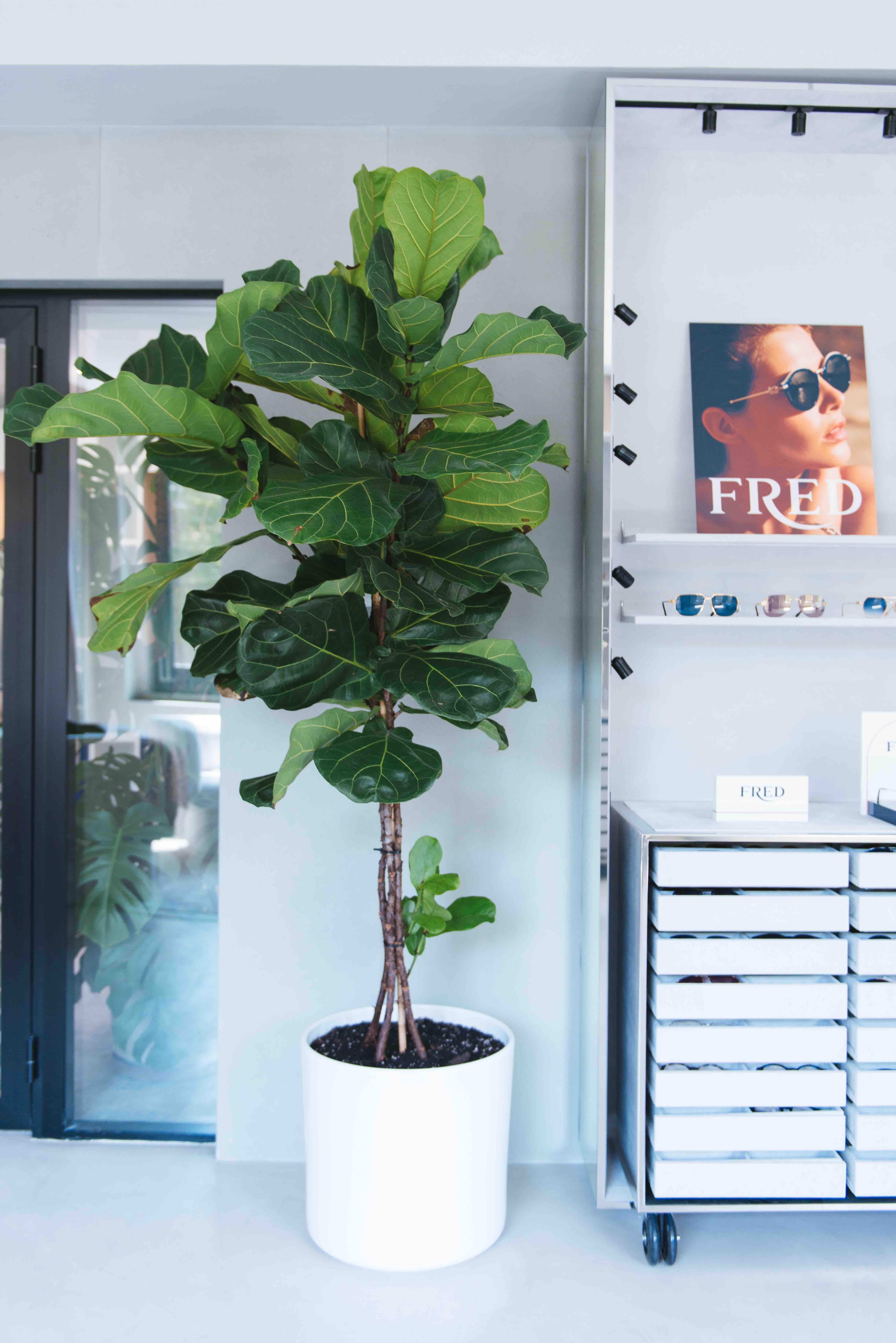 végétalisation bureaux sweet jungle paris plantes ficus lyrata