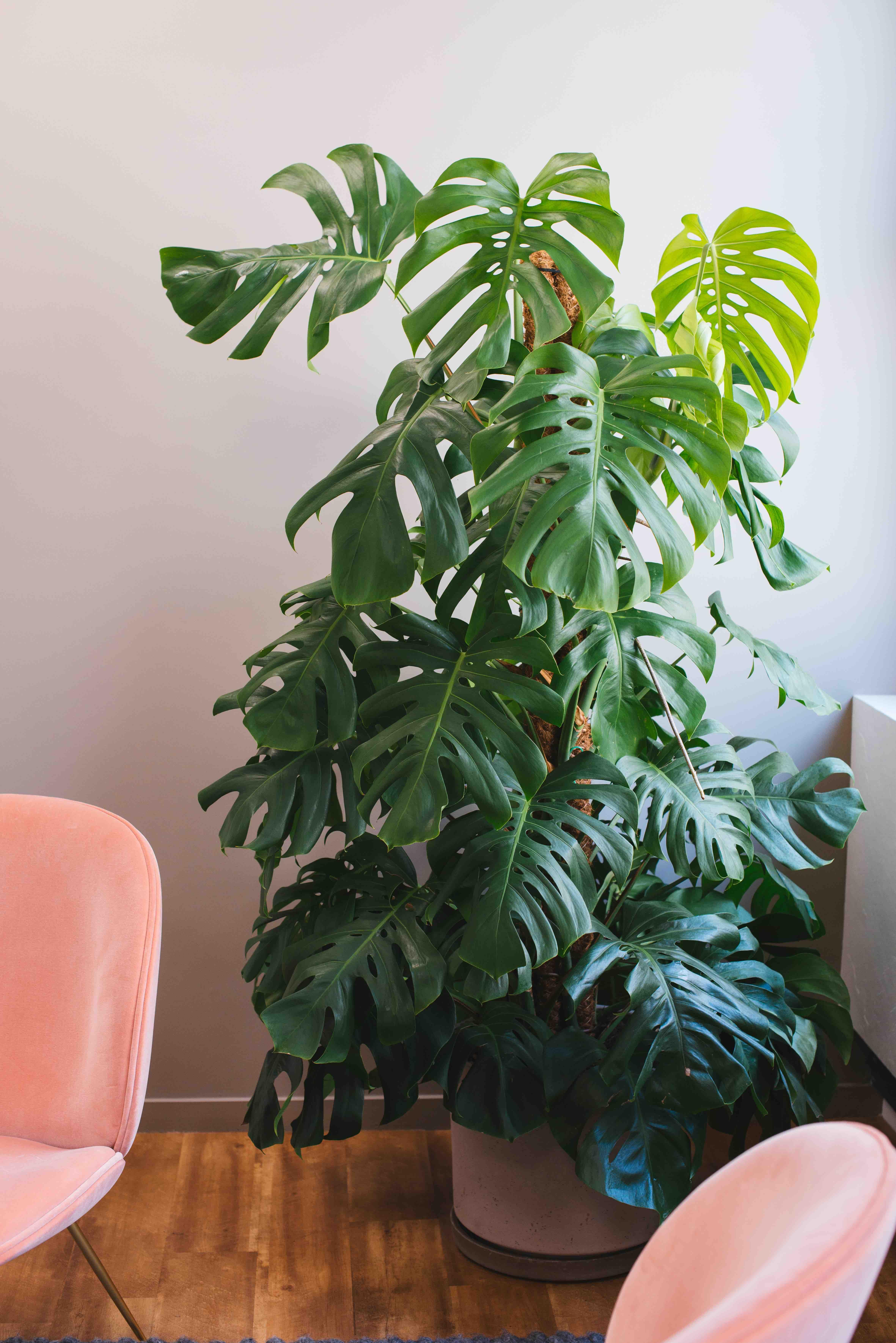 végétalisation bureaux sweet jungle paris plantes monstera