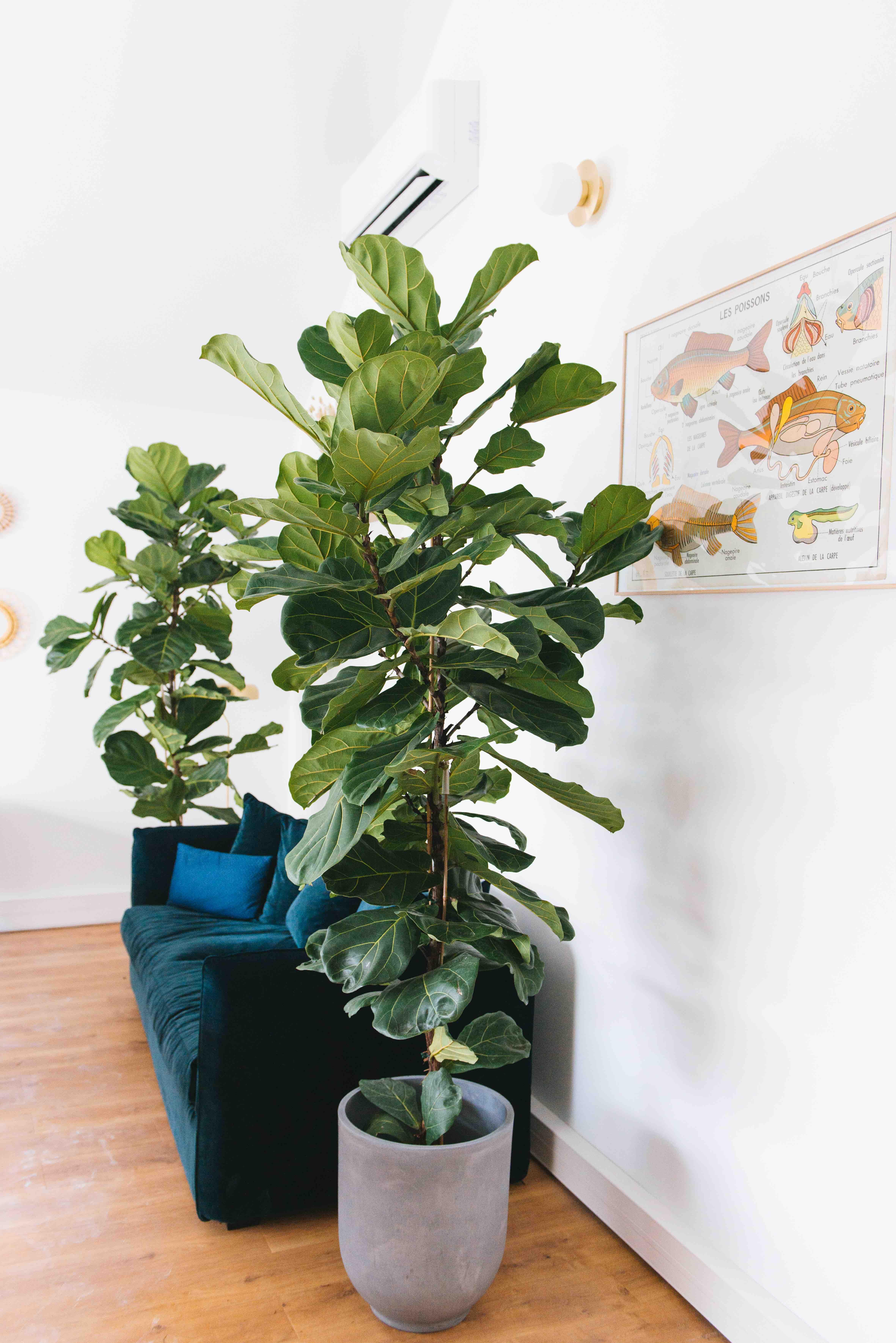 ficus lyrata grande plante vegetalisation paris