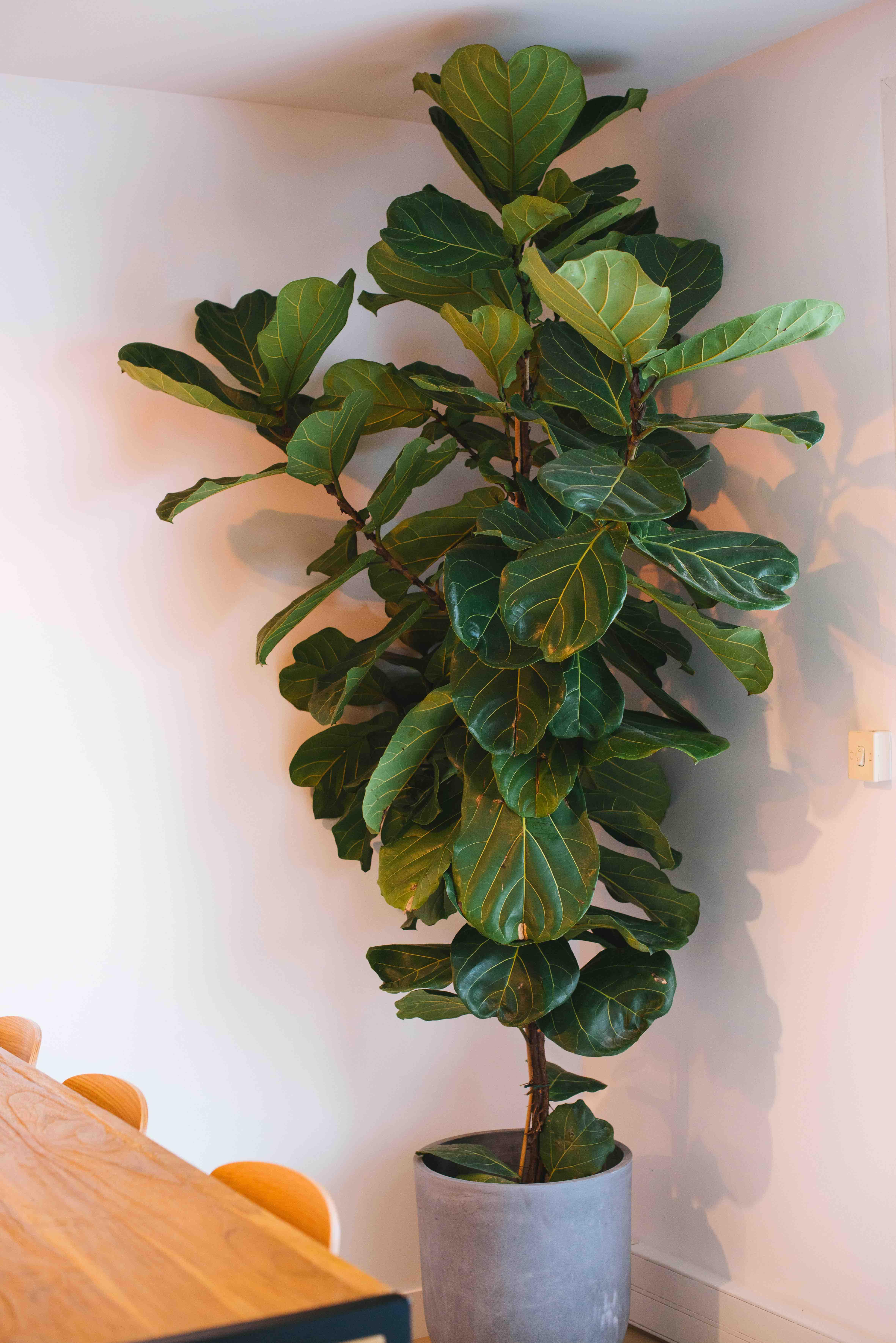 végétalisation bureau paris plantes ficus lyrata