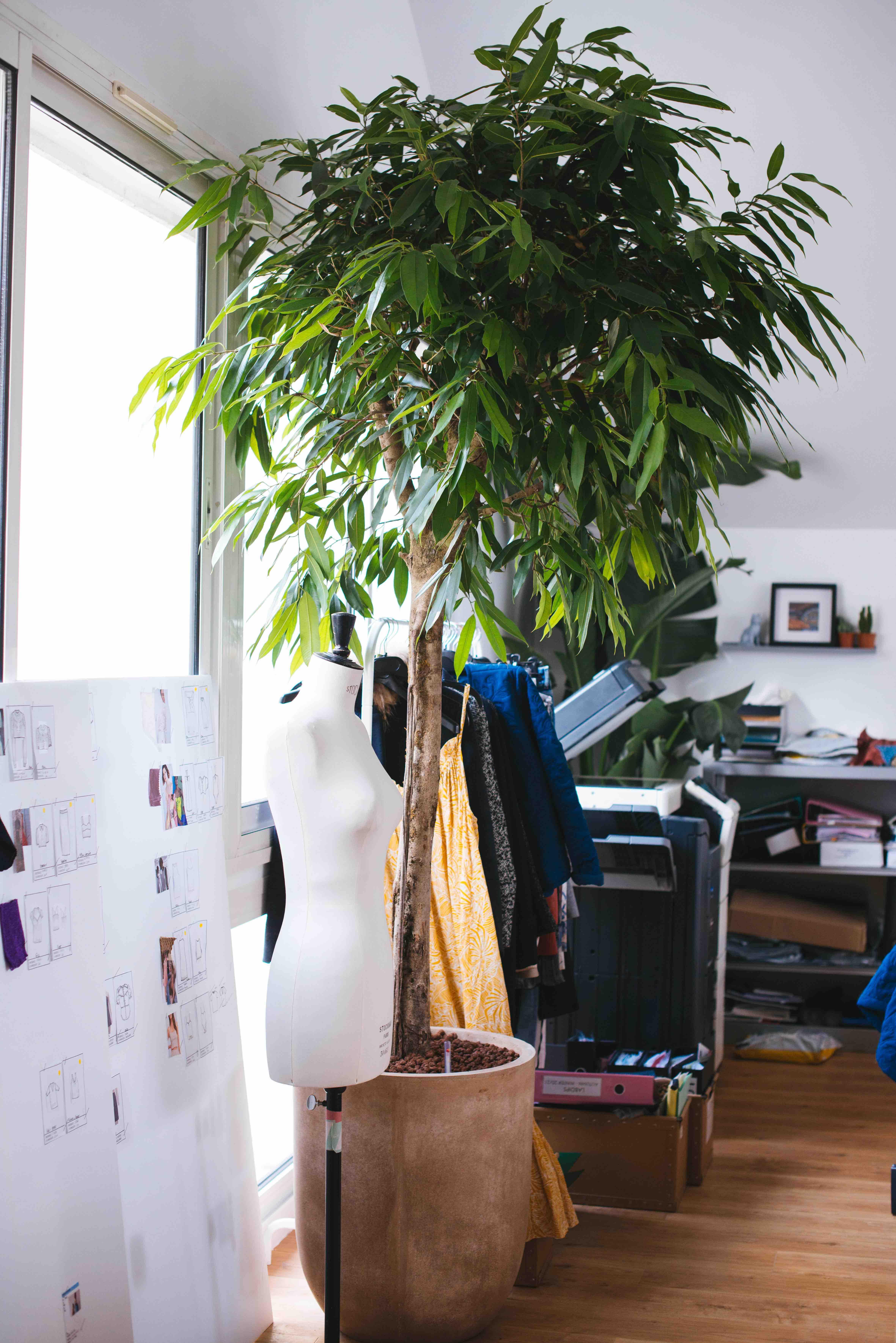 ficus amstel king grande plante bureau végétalisation paris
