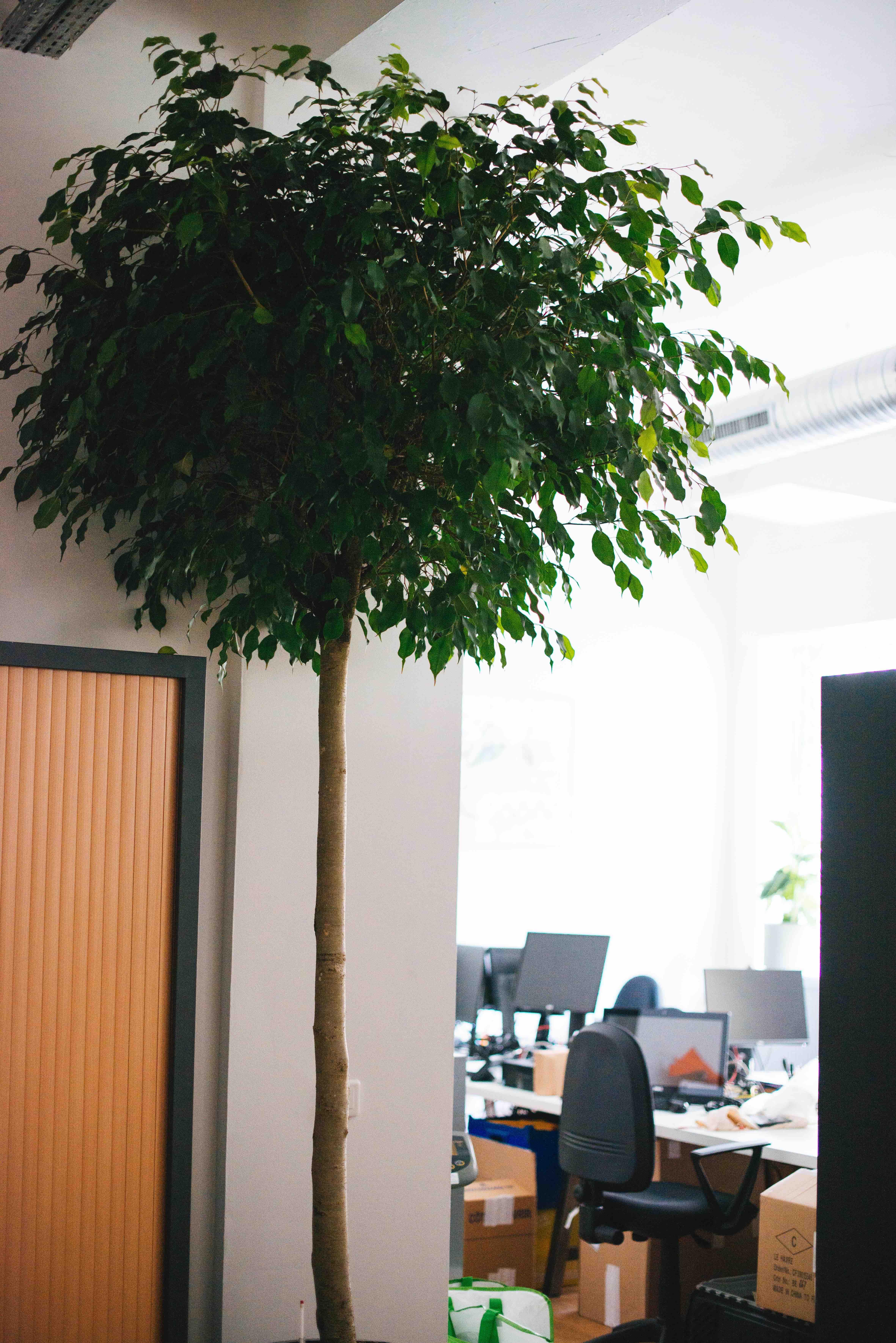 grande plante ficus bureau