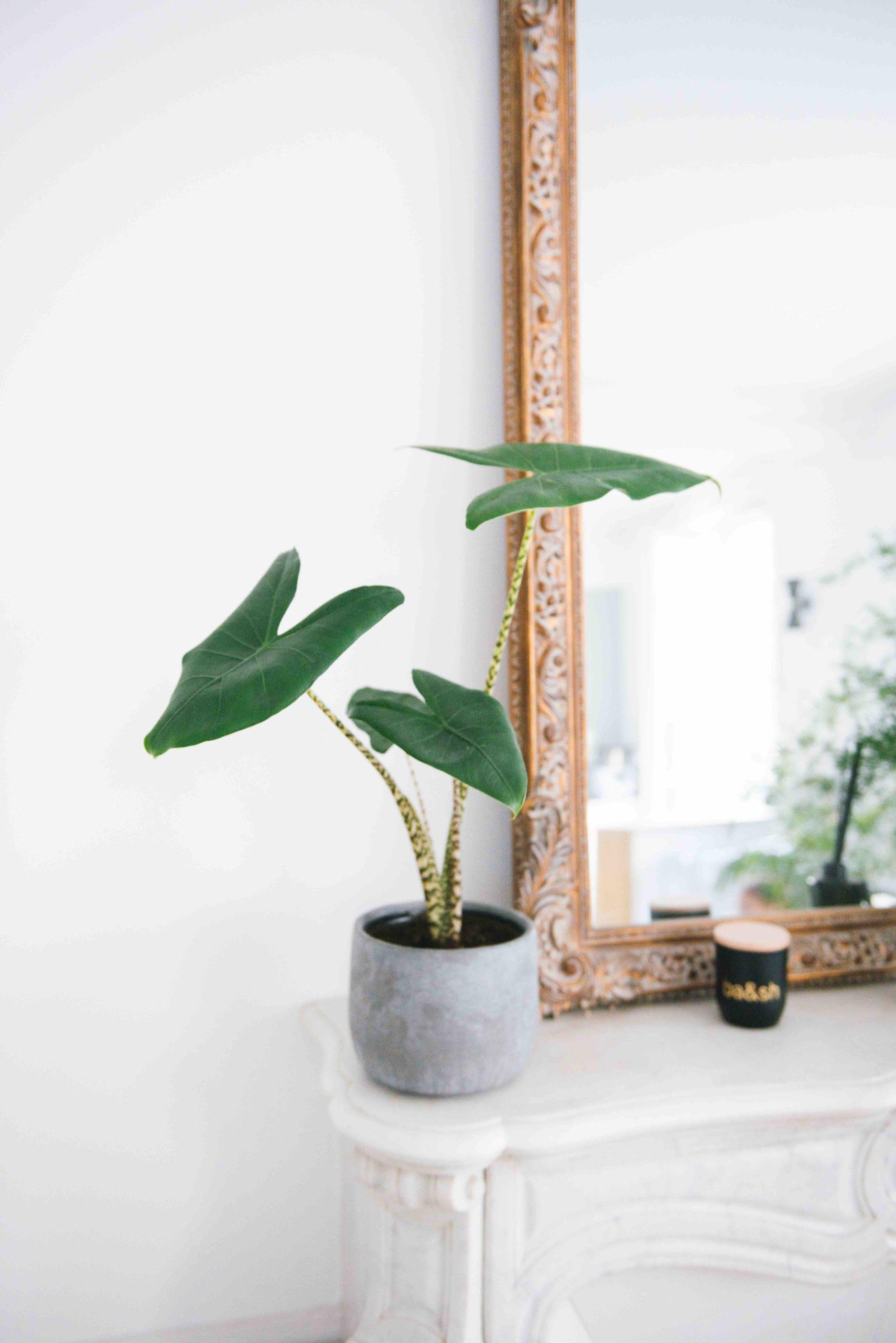 Alocasia Zebrina plante verte